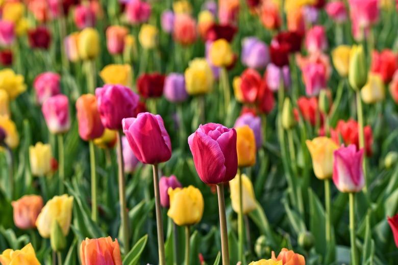 tulip-3345355_1920